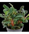 Bucephalandra sp. Red t.