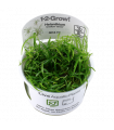 Helianthium tennelum var.Green, 1-2-Grow t.